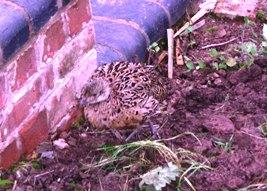 Pheasant at rest