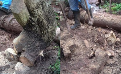 Before and after picture of the willow stump